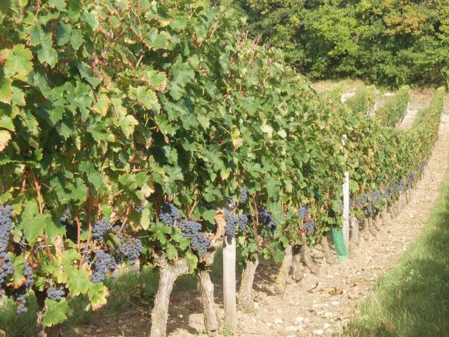 Domaine de la Bessiere - Vigneron indépendant - Saumur-Champigny - Galerie photo : raisins Cabernet Francs