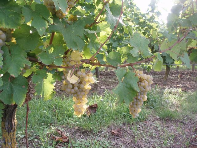 """Domaine de la Bessiere - Vigneron indépendant - Saumur-Champigny - Galerie photo : raisins """"Chenin"""""""
