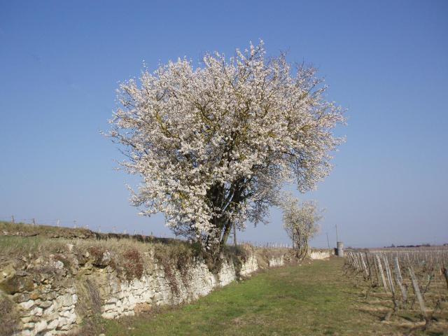 Domaine de la Bessiere - Vigneron indépendant - Saumur-Champigny - Galerie photo : amandiers en fleurs